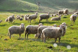 Coldiretti Oristano – movimentazione bovini e ovini
